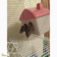 Крысята дамбо