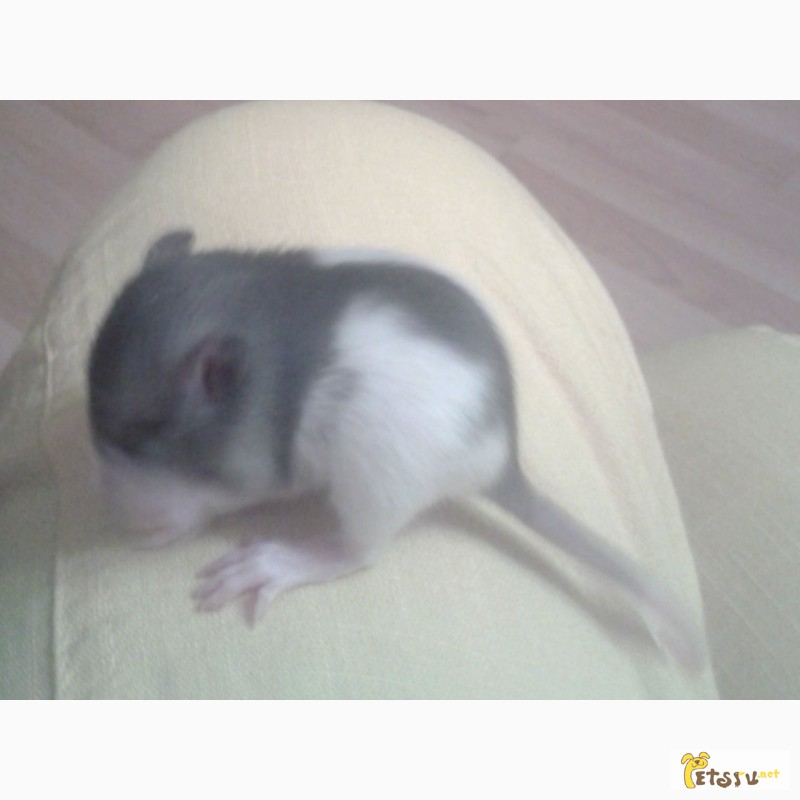 Фото 2/4. Крысята дамбо