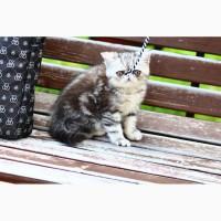 Экзотический котенок