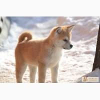 Продажа щенков акита-ину (Хатико)