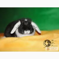 Белоухий кролик Долина Ветров Оникс
