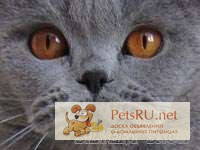 Фото 1/1. Британский котенок голубого окраса