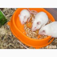 Живые кормовые мыши в Саратове в Саратове