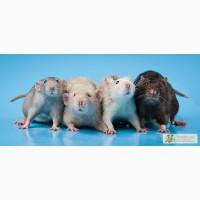 Питомник.Большой выбор крысят
