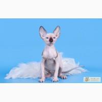 Очаровательные ушастики-Эльф, бамбино, канадский сфинкс