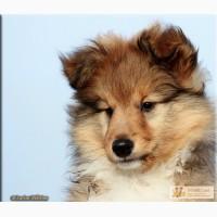 Чудесный щенок шелти в Красноярске