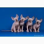 Элитные котята Эльф, бамбино, Двэльф, сфинкс редких кровных линий