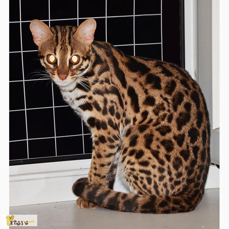 Купить леопардов кот