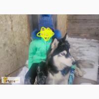 Девочка сибирской хаски в Саратове