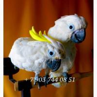 Ручные птенцы какаду из питомников Европы