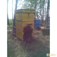 Продам пчелосемьи пчелопакеты карпатской породы