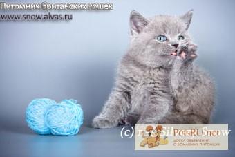 Фото 1/1. Голубые британские котята на продажу., Москва
