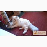Белый сибирский кот