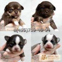 Чихуахуа красивые щенки редких окрасов, звоните и лучший щенок Ваш.