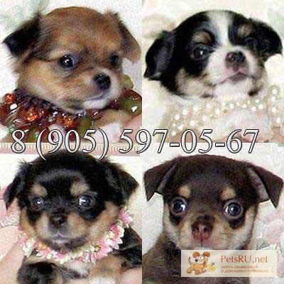 Фото 2/3. Чихуахуа красивые щенки редких окрасов, звоните и лучший щенок Ваш.