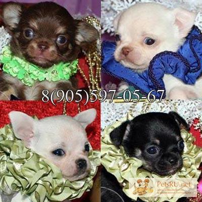 Фото 3/3. Чихуахуа красивые щенки редких окрасов, звоните и лучший щенок Ваш.