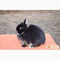 Кролик минор, самочка 6 мес, черный оттер, вес 1 кг, уши 5 см