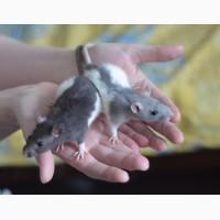 Ручные крысята мальчики от 1 мес. разного окраса на фото