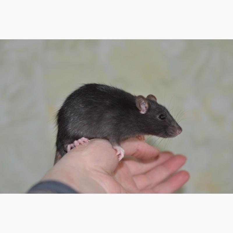 Фото 3/4. Ручные крысята мальчики от 1 мес. разного окраса на фото