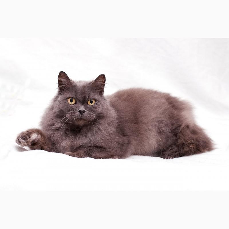 Фото 3/7. Пушистость и нежность - кошка Фиона в добрые руки
