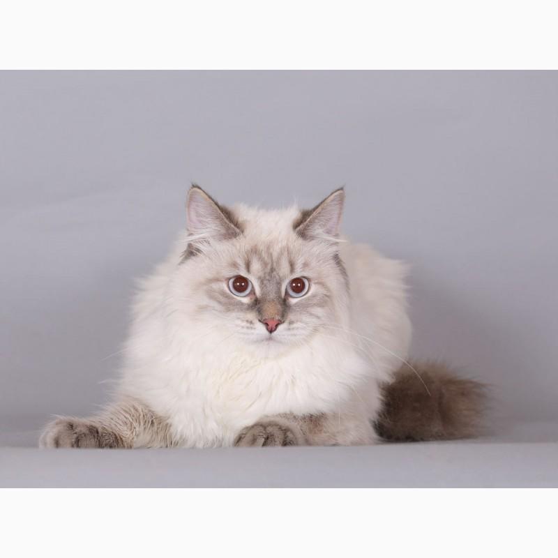 Фото 2/2. Невский Маскарадный котик из питомника
