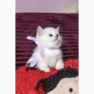 Британские клубные котята