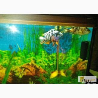 Рыбки цихлиды в Ейске