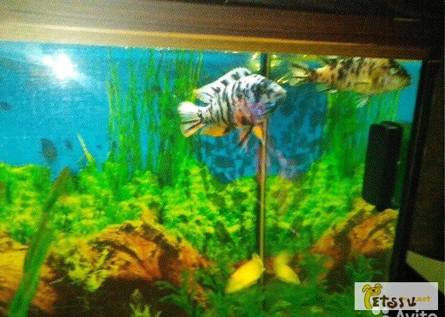 Фото 1/1. Рыбки цихлиды в Ейске