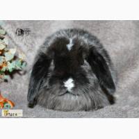 Кролики вислоухие карликовые