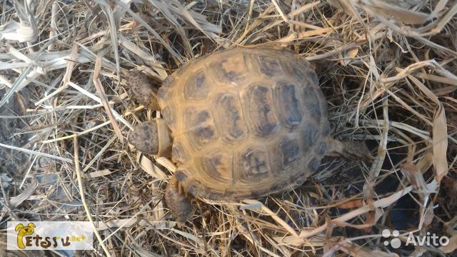 Фото 1/1. Продам сухопутную черепаху