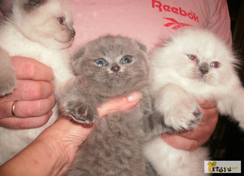 Фото шотландские котята вискас как