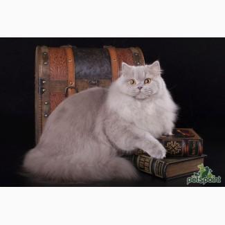 Британская длинношерстная кошка в хорошие руки