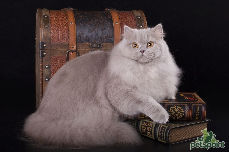 Фото 1/2. Британская длинношерстная кошка в хорошие руки