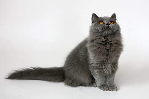 Фото 2/2. Британская длинношерстная кошка в хорошие руки