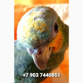Ручные птенцы венесуэльского амазона из питомника