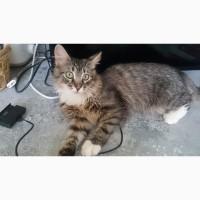 Пушистый ласковый подрощенный котенок- сибиряк, к лотку приучен