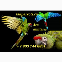 Птенцы выкормыши солдатский ара (Ara militaris)