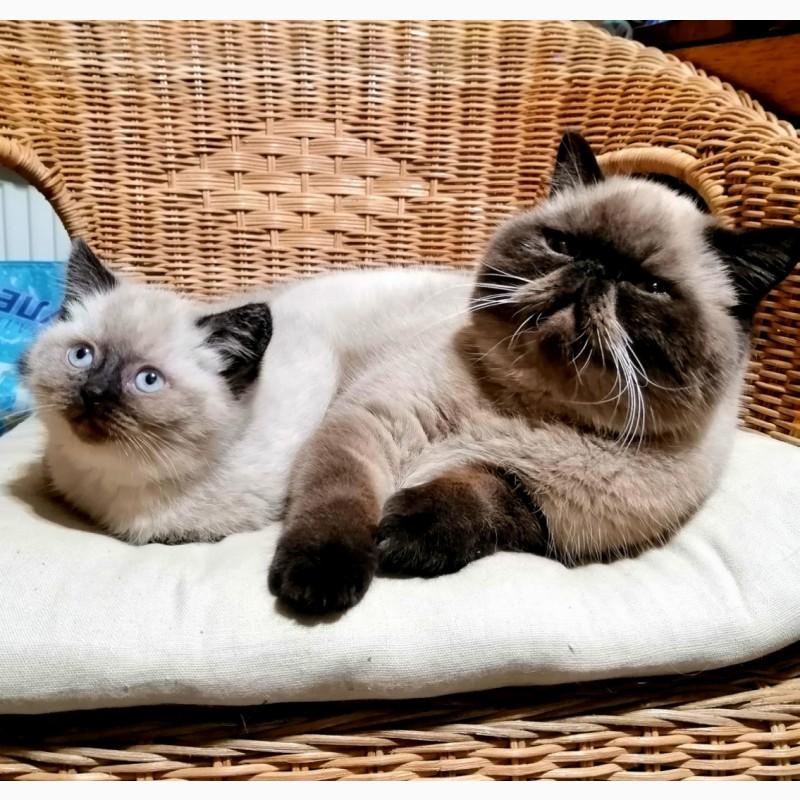 Фото 3/3. Гималайские котята