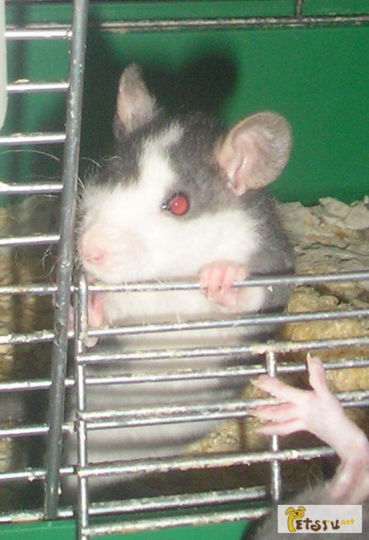 Фото 2/3. Крысята - рексы