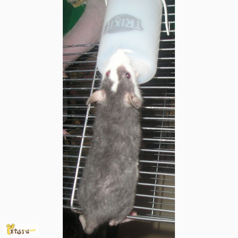 Фото 3/3. Крысята - рексы
