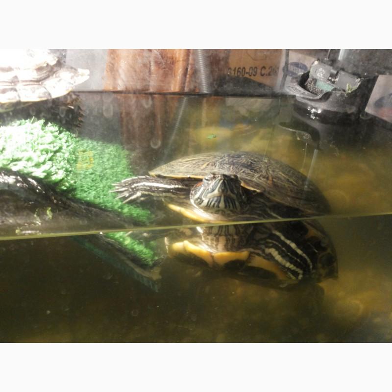 Фото 2/3. 2е красноухие черепахи