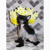 Маленькая принцесса - китайская хохлатая собака