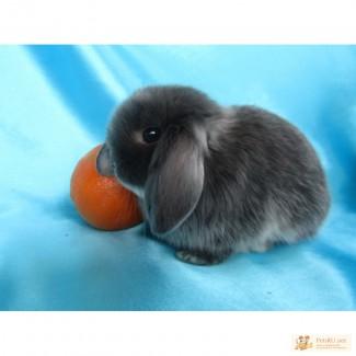Купите декоративного карликового кролика в питомнике Зайкина усадьба в Москве