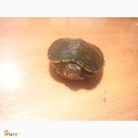 Отдам черепаху не большого роста года нету