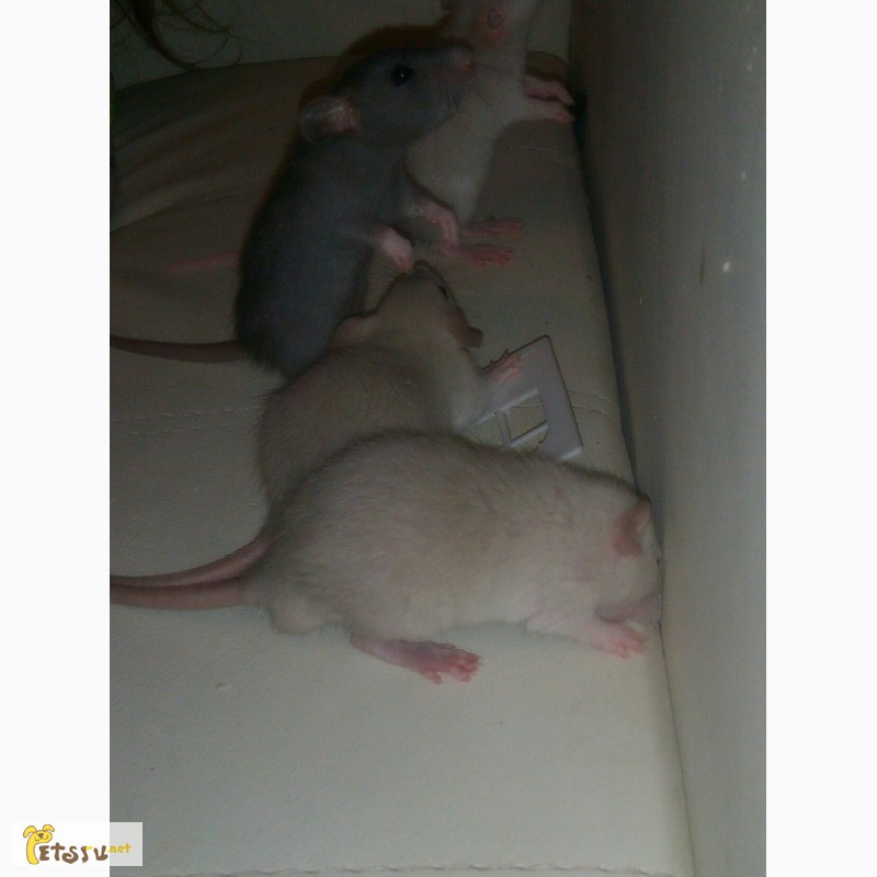Фото 1/4. Крысята дамбо