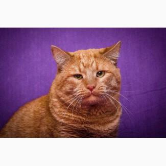 Кот рыжий Ричард Лучезарный в дар