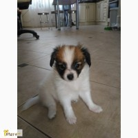 Продам очаровательных щенков папильона