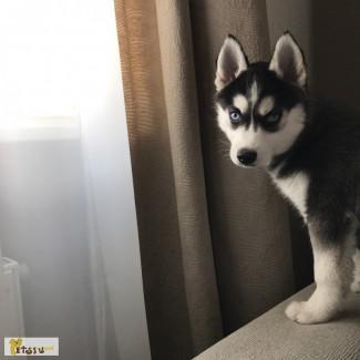 Хаски девочка щенок 5 месяцев бесплатно в добрые заботливые руки
