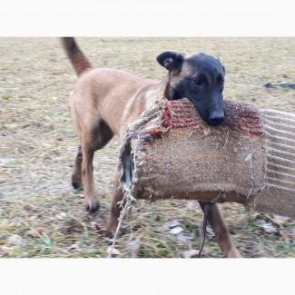 Продаётся щенок Бельгийской овчарки Малинуа