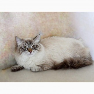 Красивый Невский Маскарадный котик